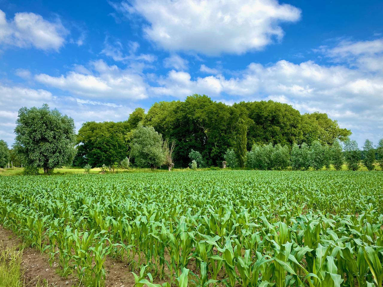Maïsveld en bos op de 4 bossenwandeling te Wetteren en omstreken